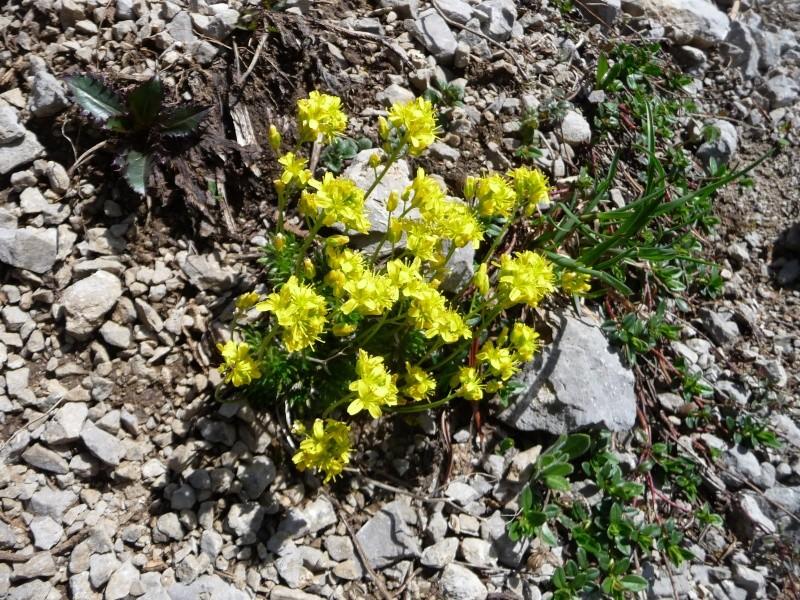Bergfrühling: botantische Wanderung am Hahntennjoch/ Tirol P1310321