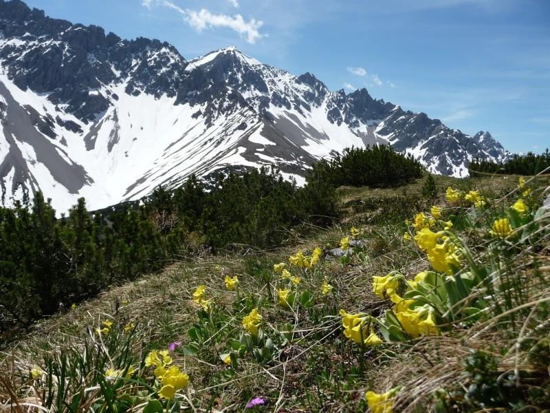 Bergfrühling: botantische Wanderung am Hahntennjoch/ Tirol P1310411