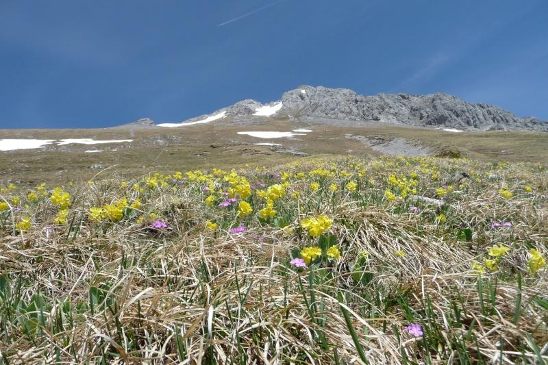 Bergfrühling: botantische Wanderung am Hahntennjoch/ Tirol P1310413