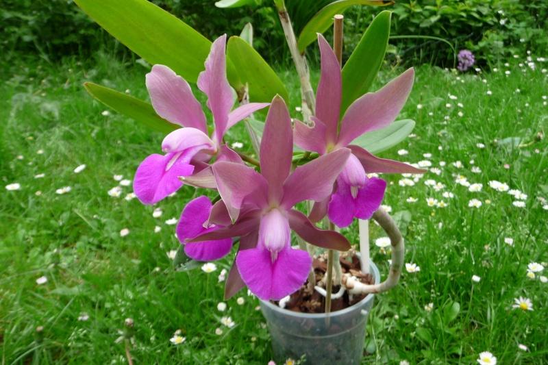 gekauft als Cattleya bicolor var. grossii, aber .................???? P1310510