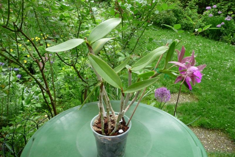 gekauft als Cattleya bicolor var. grossii, aber .................???? P1310511