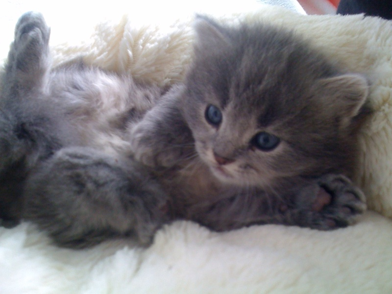 Lucky, mâle type européen gris né 16 mars 2015 Img_0210
