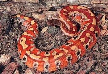 [Recueil de photos] De jolies photos d'ophidiens - Page 3 Python10