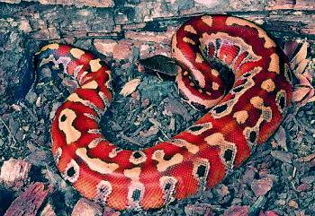 [Recueil de photos] De jolies photos d'ophidiens - Page 3 Python11