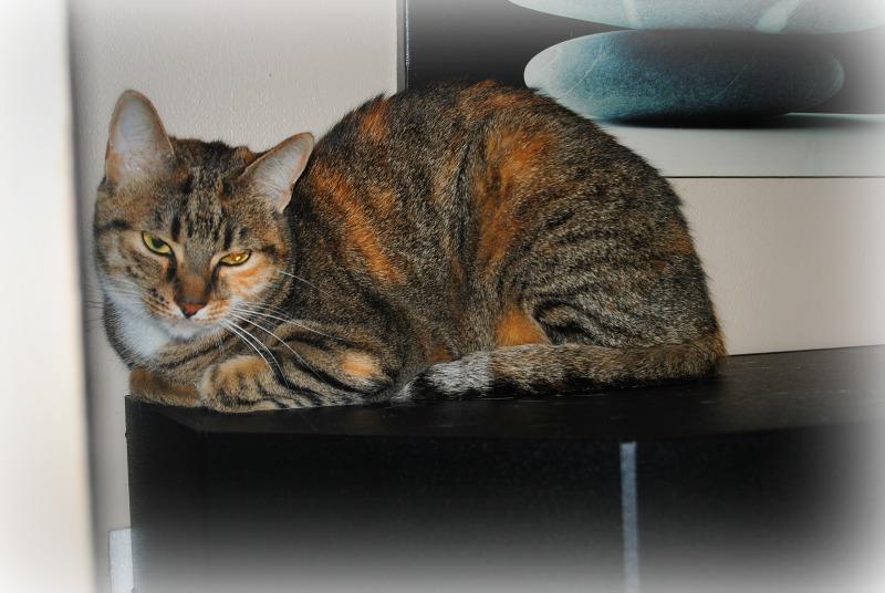 PRINCESSE, chatte née en 2010 env. (CARMINA) En FA chez Yas.h (Belgique) Dsc_0715