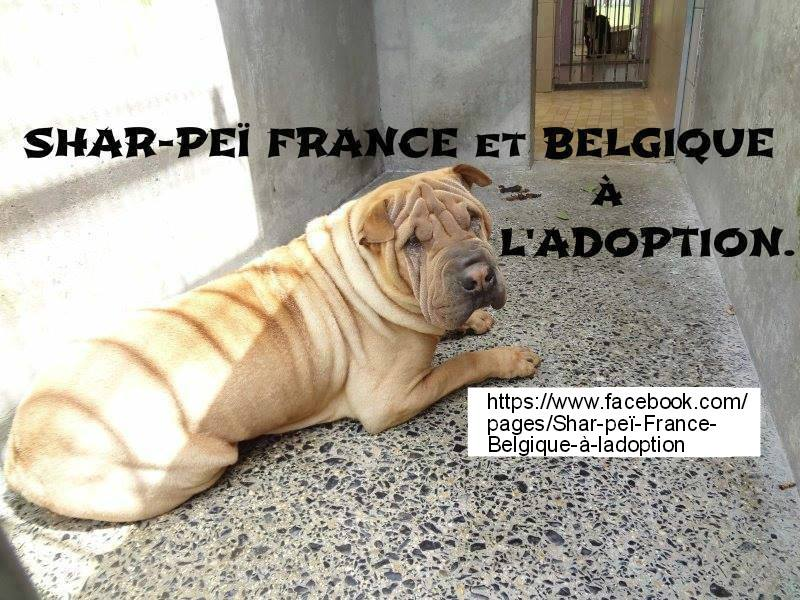 shar pei  France  &  Belgique a L' adoption