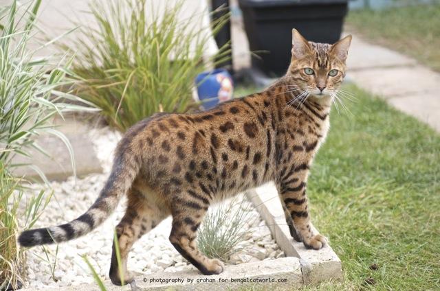 Jay (LeopardStorm) Bengal14