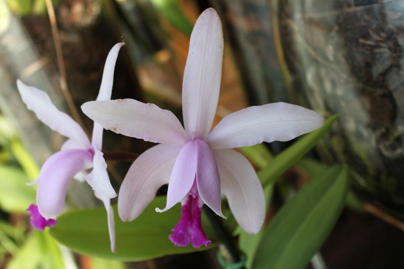 Orchideen-Neuzugang - Seite 2 Img_0718