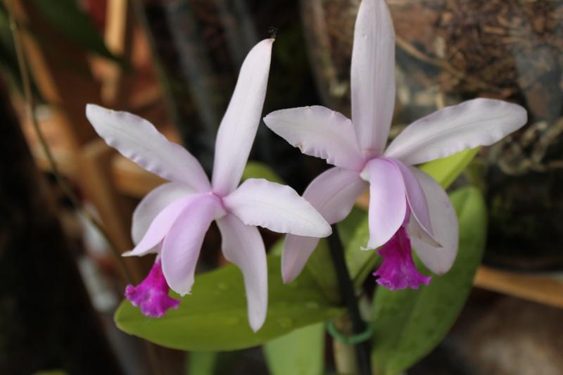 Orchideen-Neuzugang - Seite 2 Img_0722