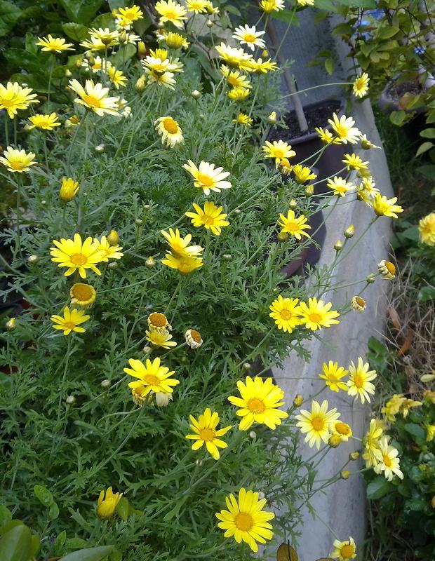 Margareta--argyranthemum frutescens 09092010