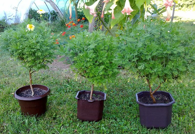 Margareta--argyranthemum frutescens 21082010