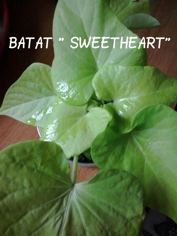 Batato-slatki krompir.. 410