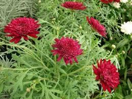 Margareta--argyranthemum frutescens A111