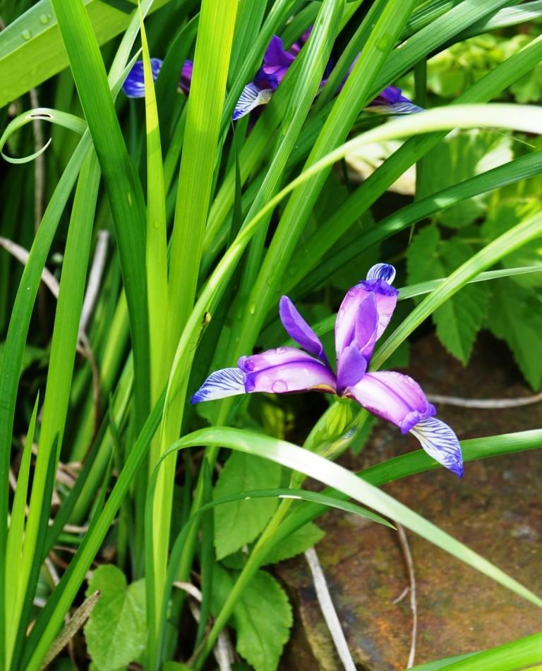 Schwertliliengewächse: Iris, Tigrida, Ixia, Sparaxis, Crocus, Freesia, Montbretie u.v.m. - Seite 6 04116