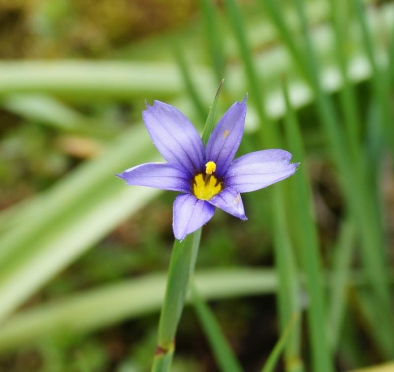 Schwertliliengewächse: Iris, Tigrida, Ixia, Sparaxis, Crocus, Freesia, Montbretie u.v.m. - Seite 6 18510