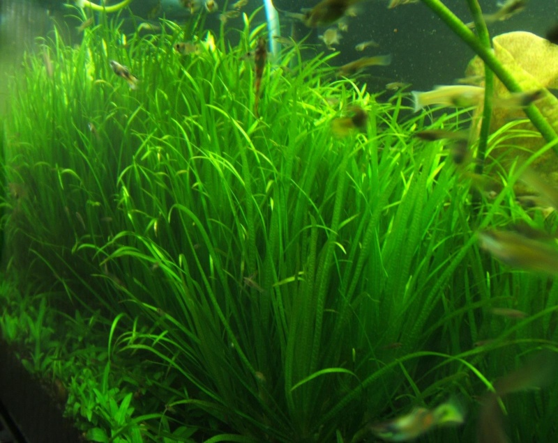 Blyxa Japonica Dscf8611
