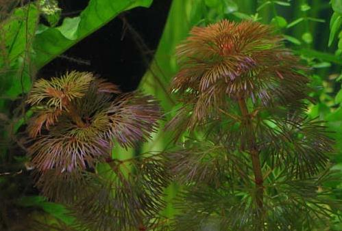 Purple Cabomba (Cabomba pulcherrima) Purple10