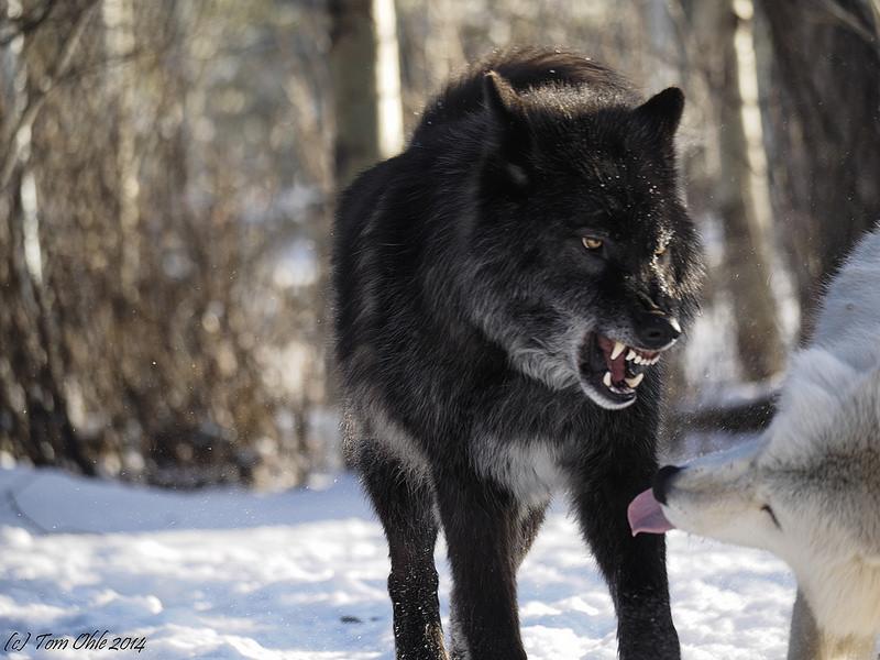 Avis à tous les loups de Sarkan : Alignement Esprit11