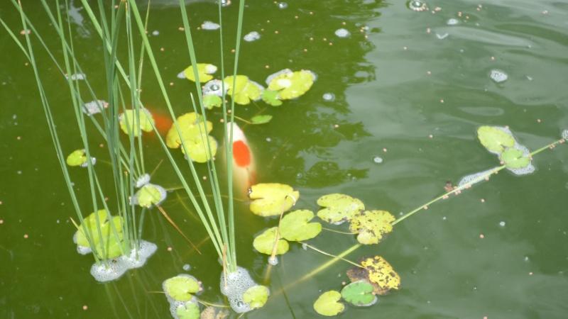 bassin de jardin 8000L - Page 2 Sam_1133