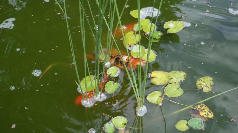 bassin de jardin 8000L - Page 2 Sam_1135