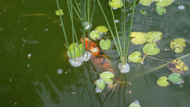 bassin de jardin 8000L - Page 2 Sam_1136