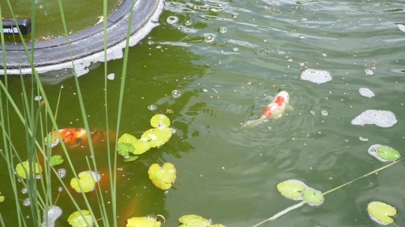 bassin de jardin 8000L - Page 2 Sam_1137