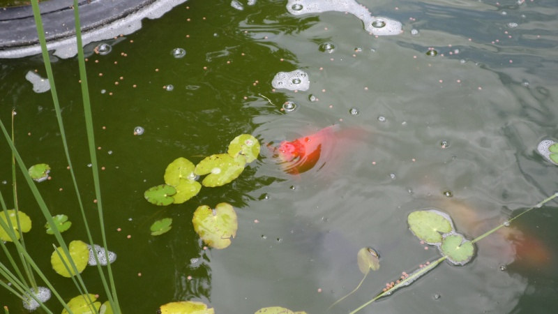 bassin de jardin 8000L - Page 2 Sam_1211