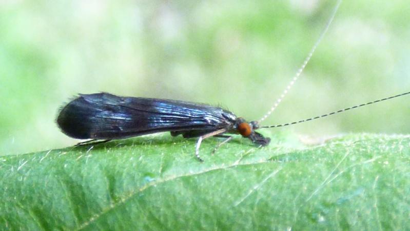 Trichoptère aux yeux rouges : Mystacides Tricho11