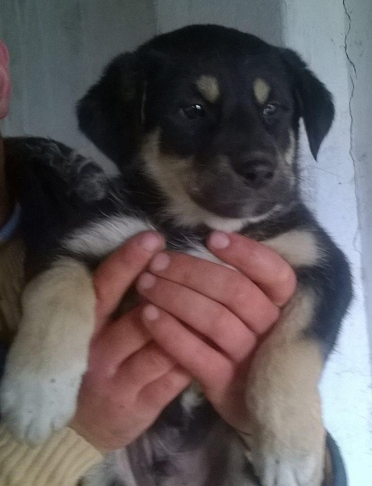 SPEEDY- chiot mâle, taille moyenne né en janvier 2015 - (Pascani)-En pension chez Lucian 10314410