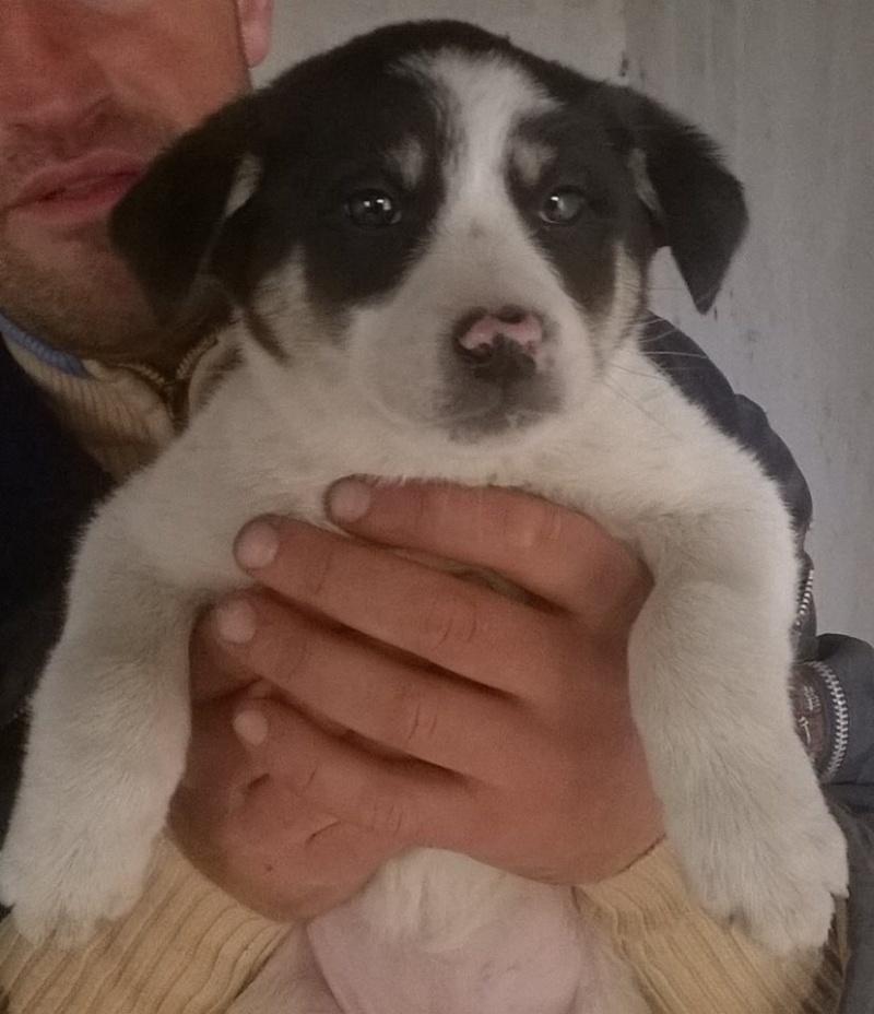 SUMMER- chiot femelle, taille moyenne née en janvier 2015 (Pascani) - adoptée par Gérard (dpt57) 10630610