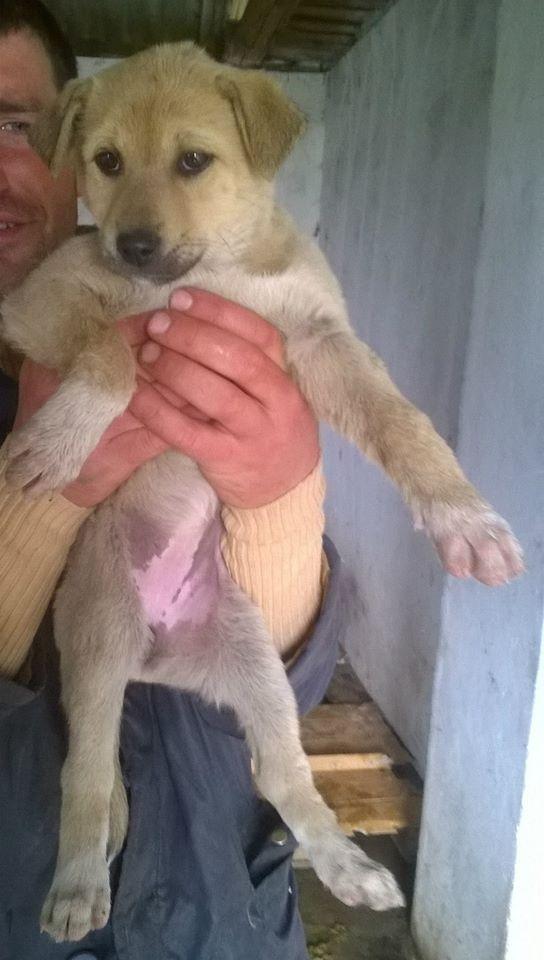 SUNSHINE- chiot femelle, taille moyenne né en janvier 2015 - (Pascani)-En pension chez Lucian 11113610