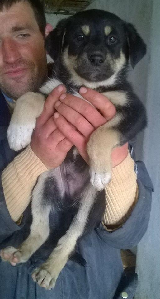 SPEEDY- chiot mâle, taille moyenne né en janvier 2015 - (Pascani)-En pension chez Lucian 11149310