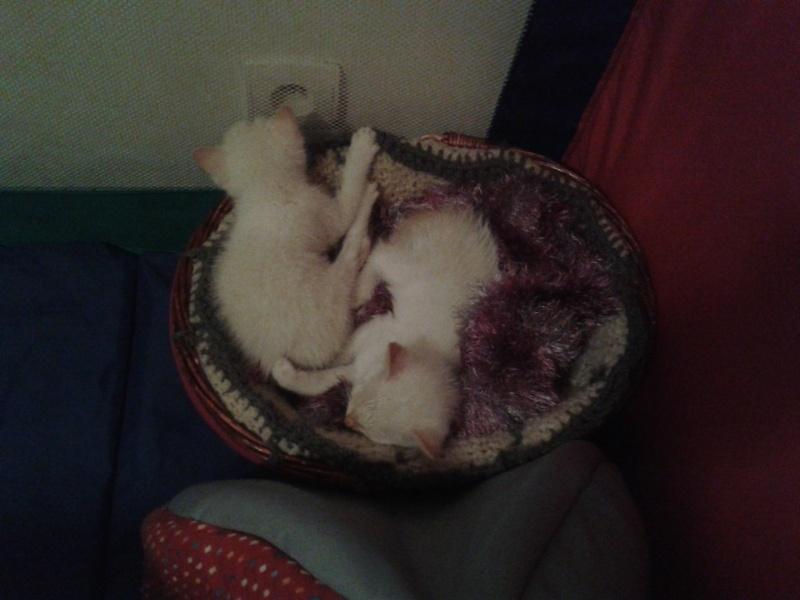 Sauvetage de chatons 2015-031