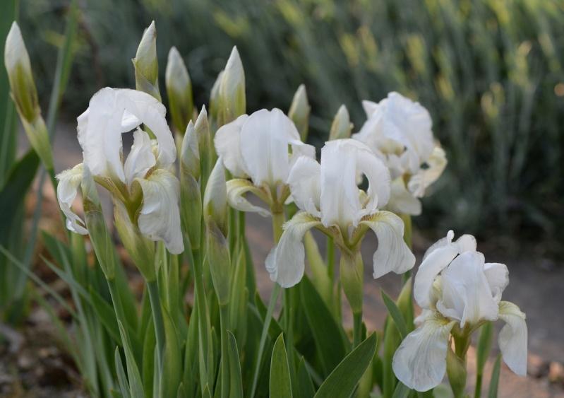 Première floraison de l'année. Dsc_2110