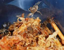 Fiche D Elevage Les Crabes Sesarma Et Geosesarma