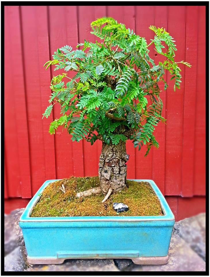 Leucaena Leucocephala (aka Mimosa, Haole koa) progression from Yamadori Howle_10