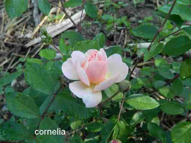 Rosa 'Cornélia' !!! - Page 2 Dscn7317