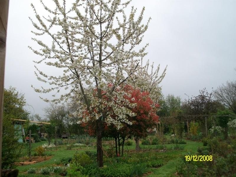 Cerisier en fleurs Imgp0063