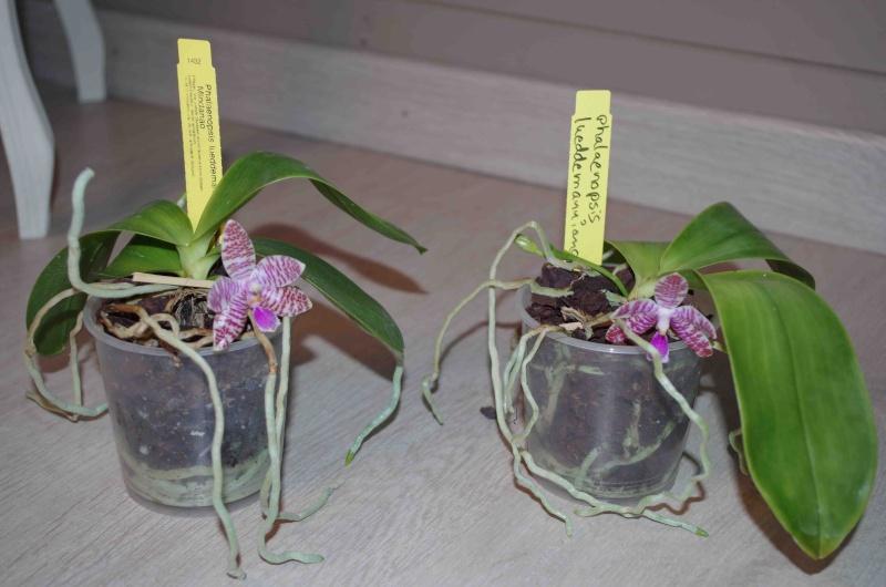 quel différence phal lueddemanniana et phal lueddemanniana mindanao 03042010