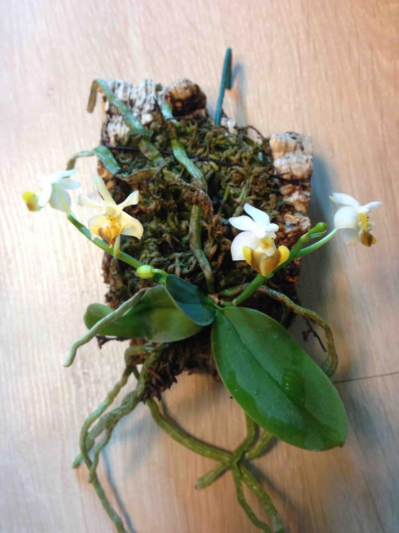 Phalaenopsis lobbii var flava 07042010