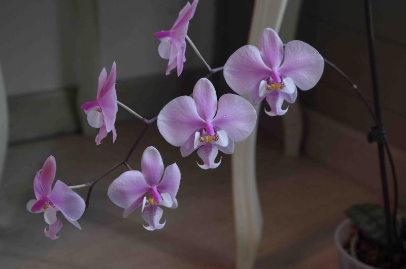 Phalaenopsis schilleriana  21042010
