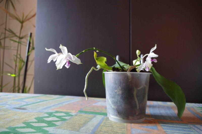 Phalaenopsis fimbriata  22042011