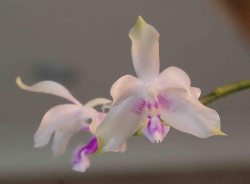 Phalaenopsis fimbriata  22042012