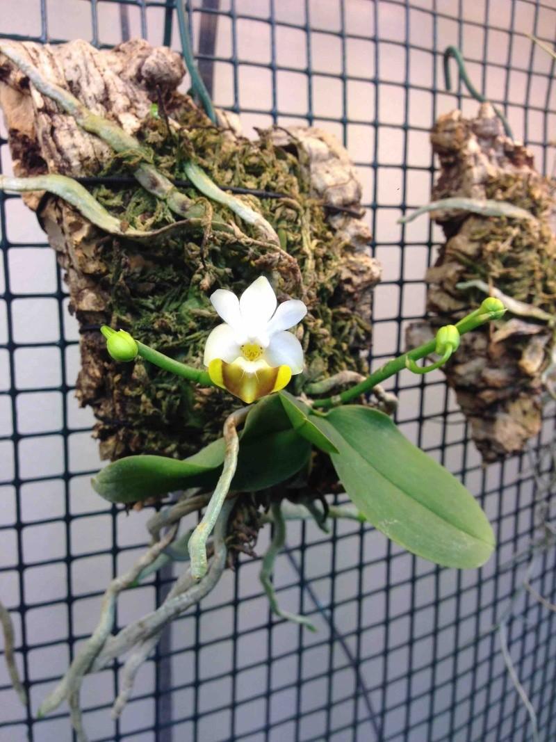 Phalaenopsis lobbii var flava 30032012