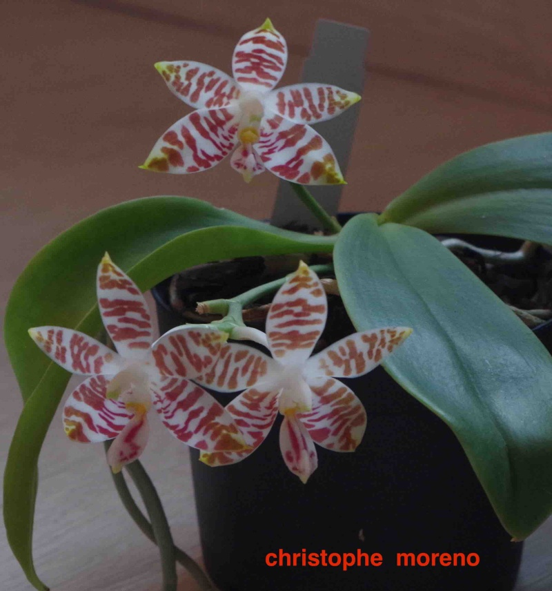 Phalaenopsis amboinensis Flo_2510