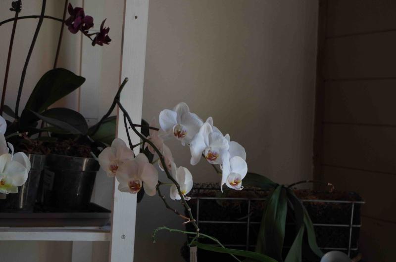 Phalaenopsis hybrides Imgp0710