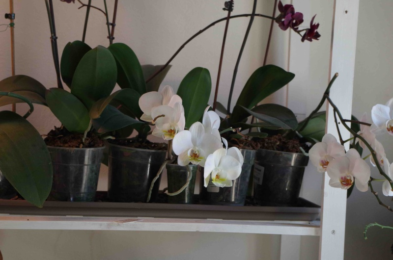 Phalaenopsis hybrides Imgp0711