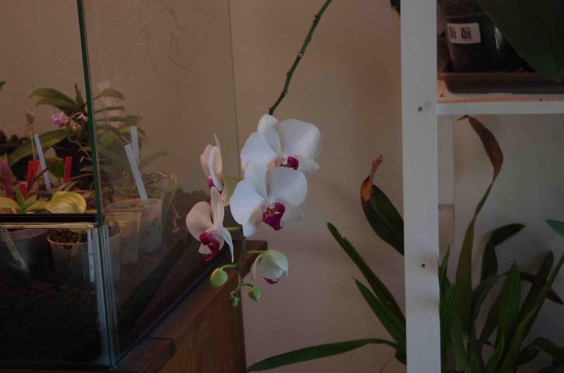 Phalaenopsis hybrides Imgp0712