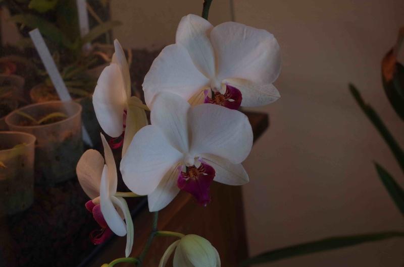 Phalaenopsis hybrides Imgp0714