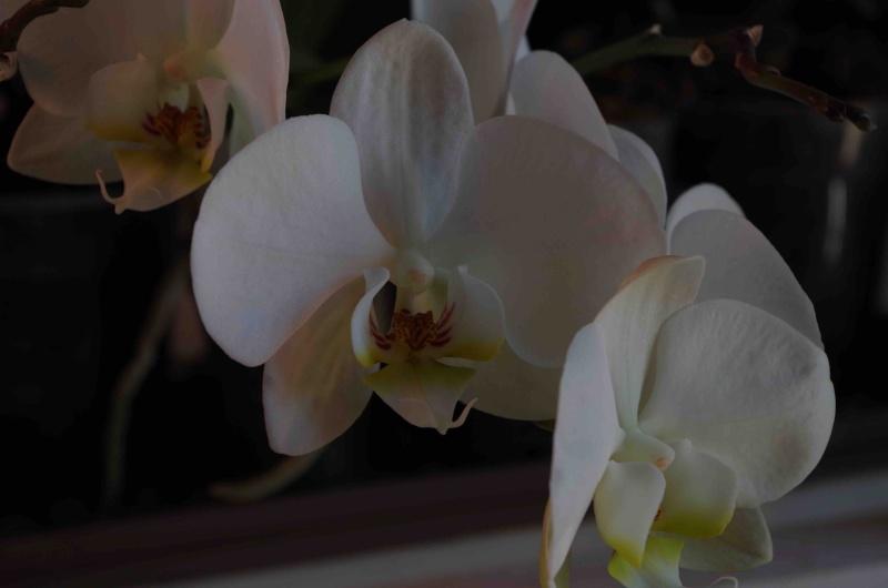 Phalaenopsis hybrides Imgp0715
